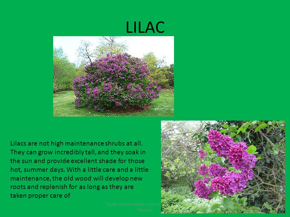 LILAC Fruits contain seeds and come from the flowers Lilacs are not high maintenance shrubs at all.