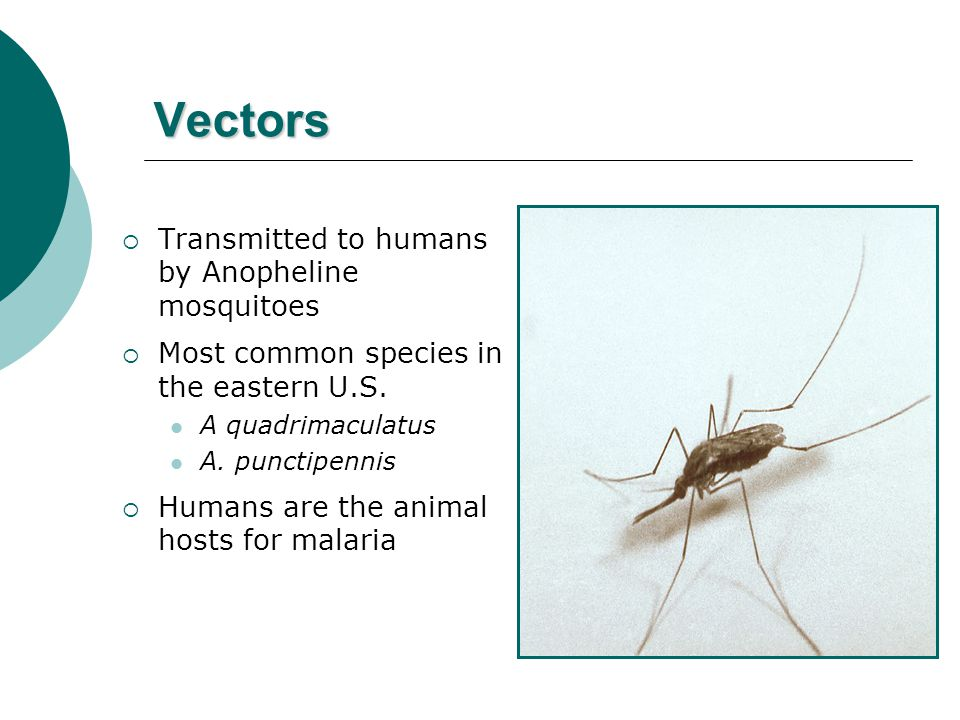 Vectors  Transmitted to humans by Anopheline mosquitoes  Most common species in the eastern U.S.