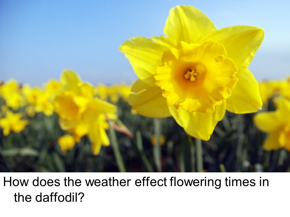 How does the weather effect flowering times in the daffodil