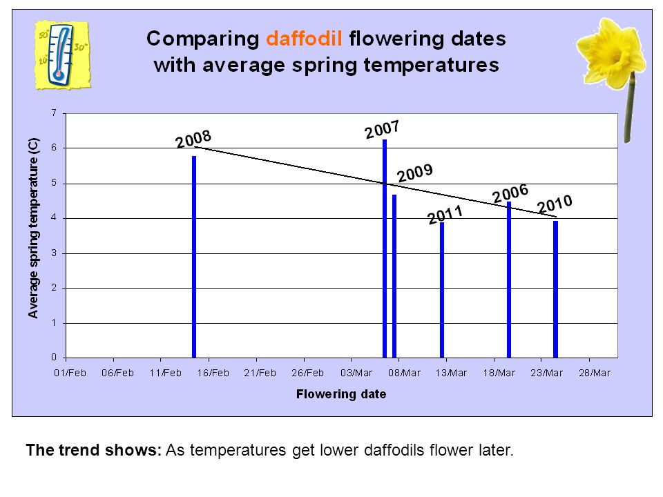The trend shows: As temperatures get lower daffodils flower later.