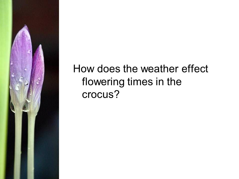 How does the weather effect flowering times in the crocus
