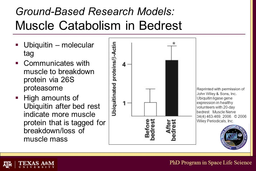 PhD Program in Space Life Science Ground-Based Research Models: Muscle Catabolism in Bedrest  Ubiquitin – molecular tag  Communicates with muscle to