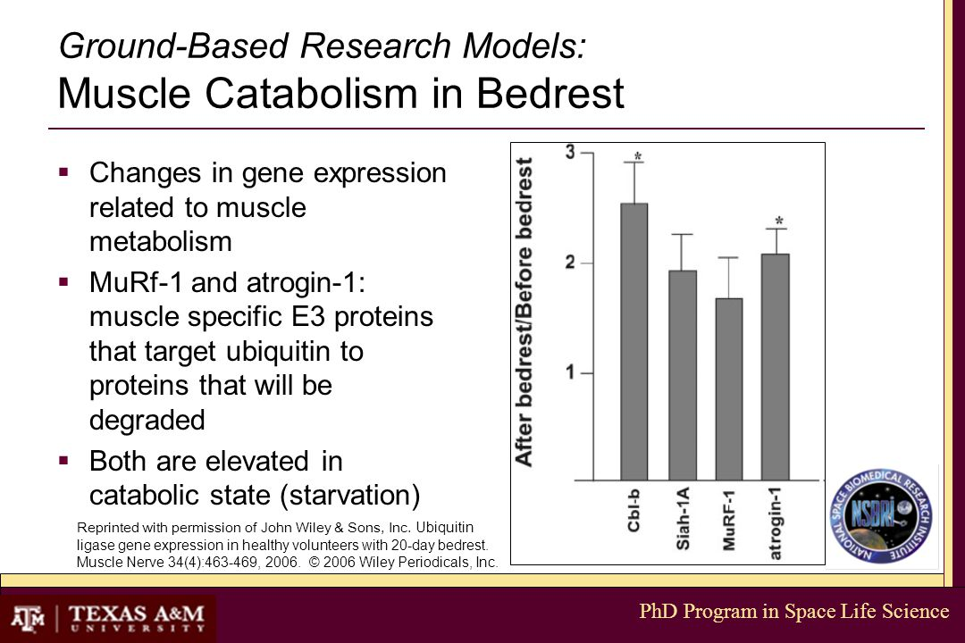 PhD Program in Space Life Science Ground-Based Research Models: Muscle Catabolism in Bedrest  Changes in gene expression related to muscle metabolism  MuRf-1 and atrogin-1: muscle specific E3 proteins that target ubiquitin to proteins that will be degraded  Both are elevated in catabolic state (starvation) Reprinted with permission of John Wiley & Sons, Inc.