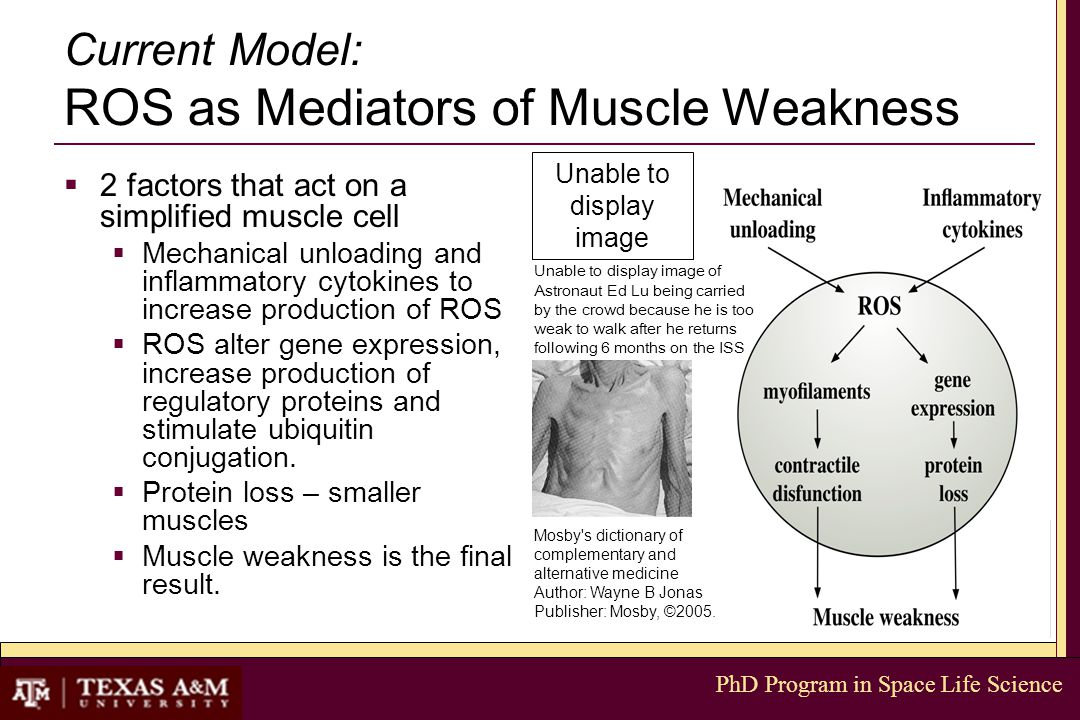 PhD Program in Space Life Science Current Model: ROS as Mediators of Muscle Weakness  2 factors that act on a simplified muscle cell  Mechanical unl