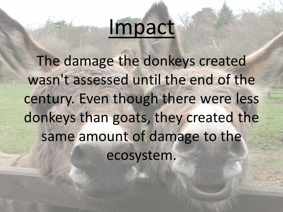 Impact The damage the donkeys created wasn't assessed until the end of the century. Even though there were less donkeys than goats, they created the s