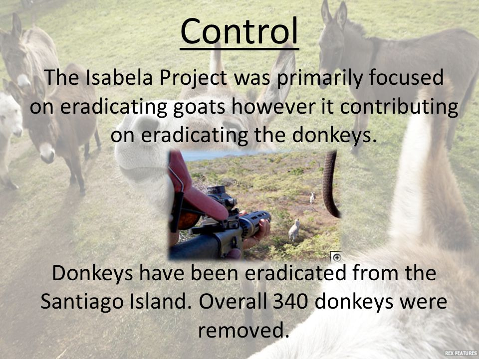 Control The Isabela Project was primarily focused on eradicating goats however it contributing on eradicating the donkeys. Donkeys have been eradicate