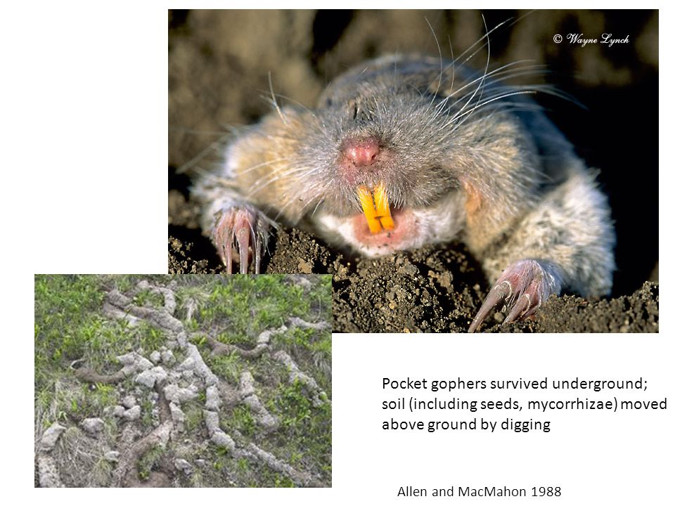Pocket gophers survived underground; soil (including seeds, mycorrhizae) moved above ground by digging Allen and MacMahon 1988