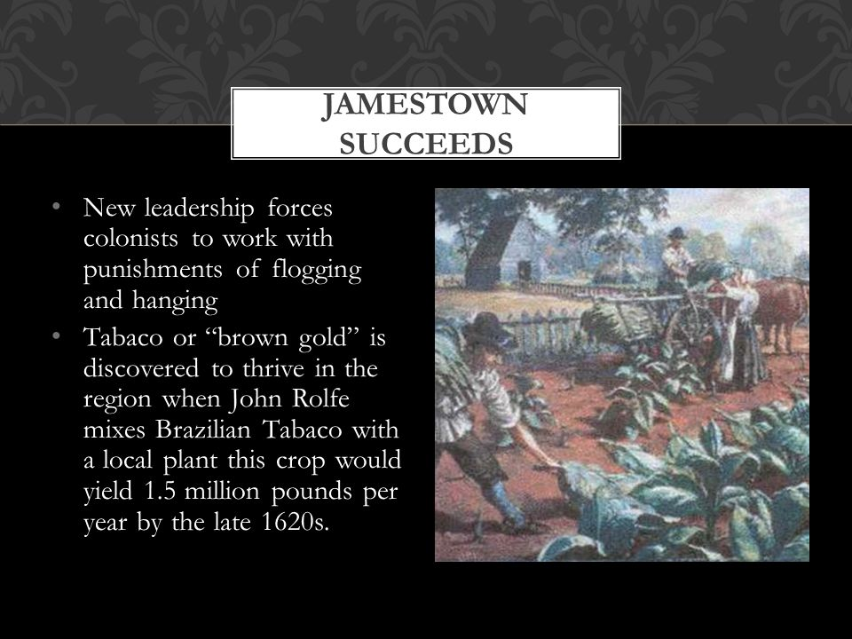 New leadership forces colonists to work with punishments of flogging and hanging Tabaco or brown gold is discovered to thrive in the region when John Rolfe mixes Brazilian Tabaco with a local plant this crop would yield 1.5 million pounds per year by the late 1620s.