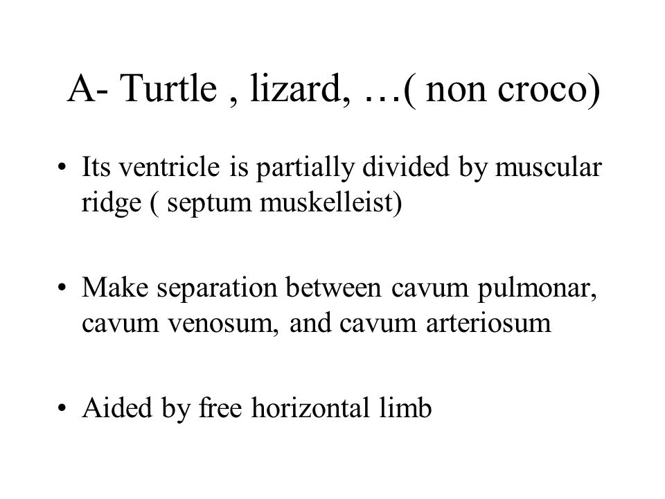 A- Turtle, lizard, … ( non croco) Its ventricle is partially divided by muscular ridge ( septum muskelleist) Make separation between cavum pulmonar, c