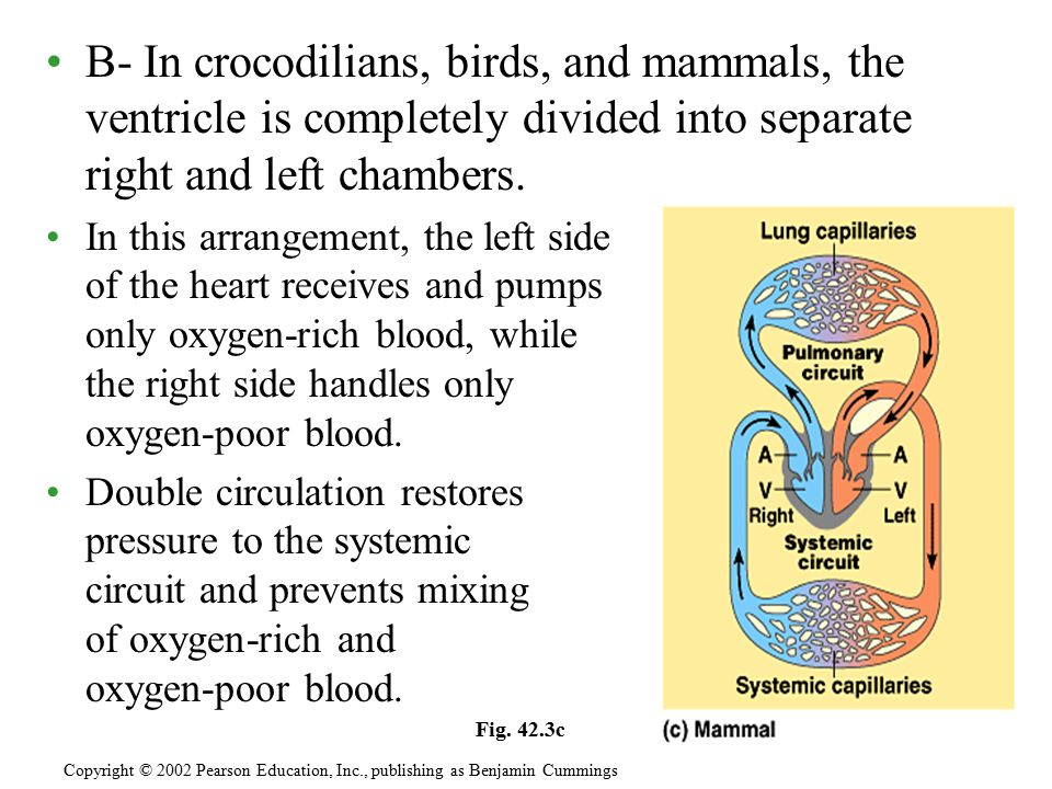 B- In crocodilians, birds, and mammals, the ventricle is completely divided into separate right and left chambers. In this arrangement, the left side
