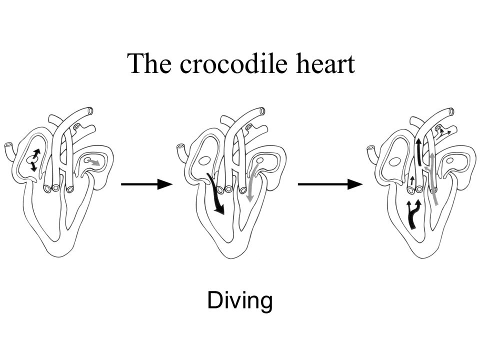 Diving The crocodile heart