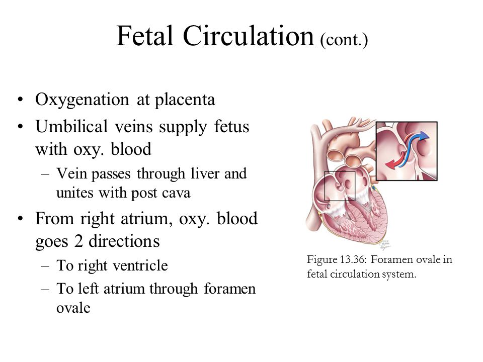 Fetal Circulation (cont.) Oxygenation at placenta Umbilical veins supply fetus with oxy. blood –Vein passes through liver and unites with post cava Fr