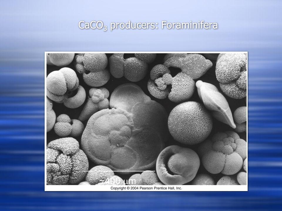 CaCO 3 producers: Foraminifera 50  m ~400  m
