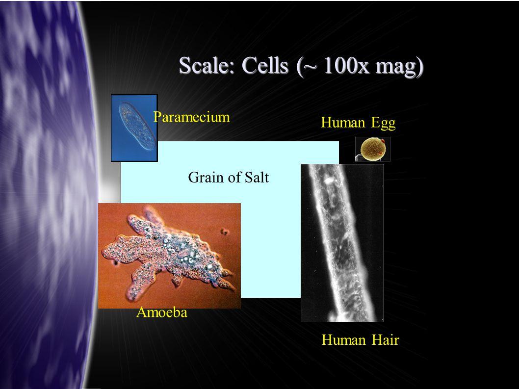 Scale: Cells (~ 100x mag) Grain of Salt Human Hair Amoeba Paramecium Human Egg