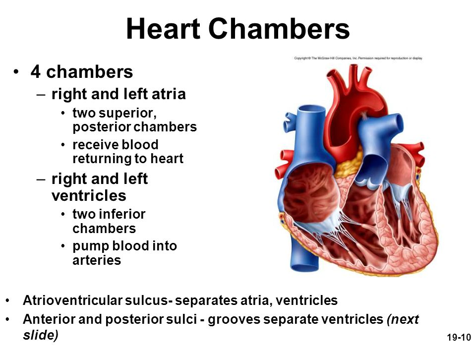 19-10 Heart Chambers 4 chambers –right and left atria two superior, posterior chambers receive blood returning to heart –right and left ventricles two