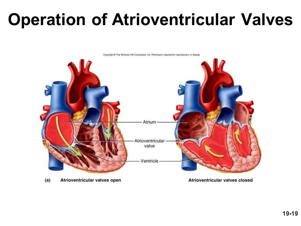 19-19 Operation of Atrioventricular Valves
