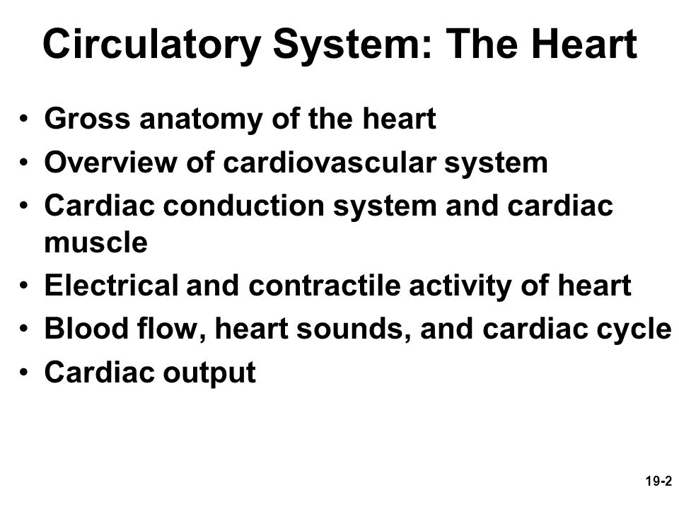 19-2 Circulatory System: The Heart Gross anatomy of the heart Overview of cardiovascular system Cardiac conduction system and cardiac muscle Electrica