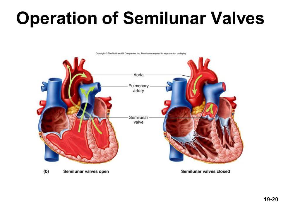 19-20 Operation of Semilunar Valves