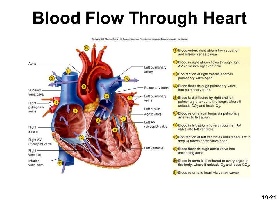 19-21 Blood Flow Through Heart