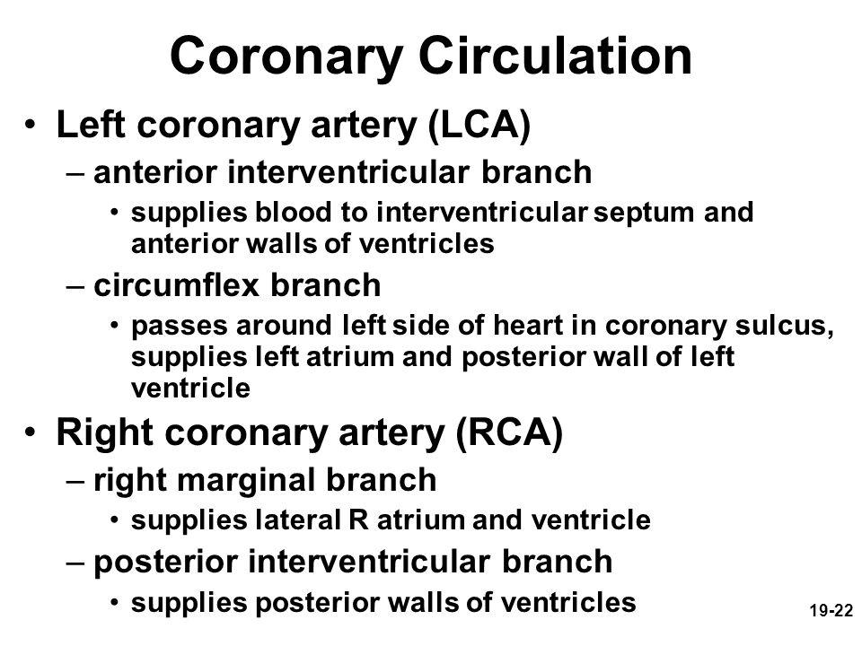 19-22 Coronary Circulation Left coronary artery (LCA) –anterior interventricular branch supplies blood to interventricular septum and anterior walls o