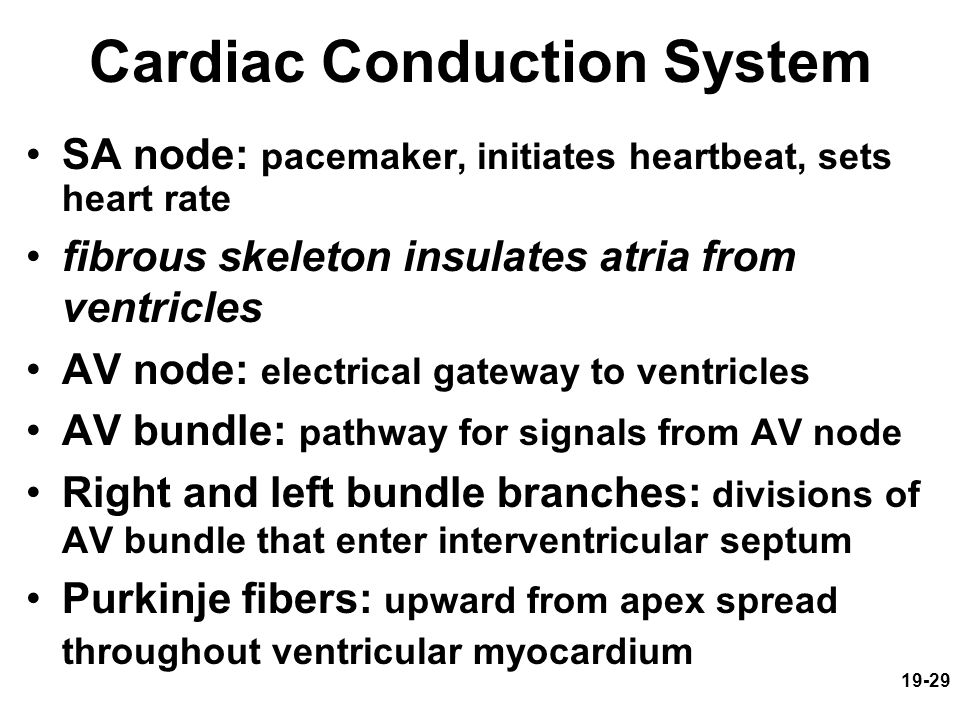 19-29 Cardiac Conduction System SA node: pacemaker, initiates heartbeat, sets heart rate fibrous skeleton insulates atria from ventricles AV node: ele