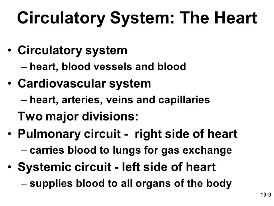 19-3 Circulatory System: The Heart Circulatory system –heart, blood vessels and blood Cardiovascular system –heart, arteries, veins and capillaries Tw