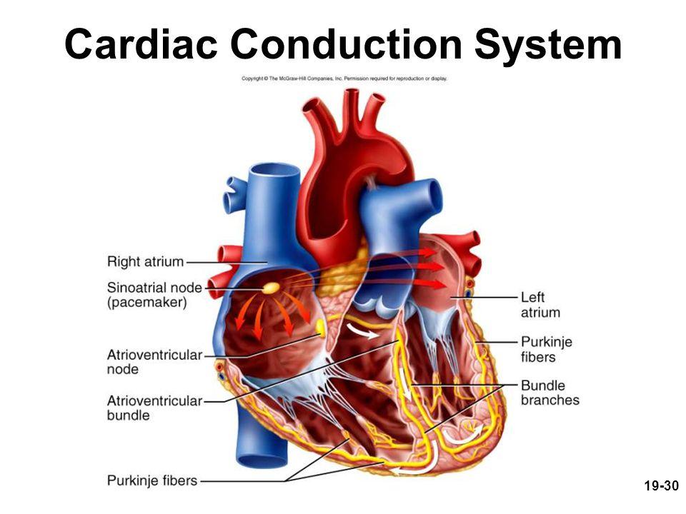 19-30 Cardiac Conduction System