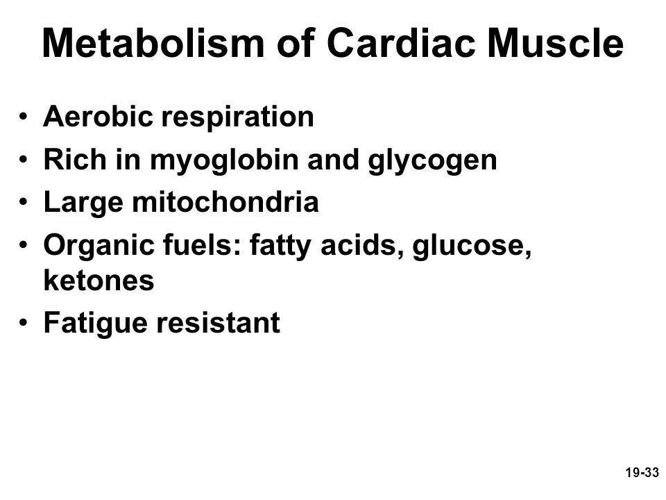 19-33 Metabolism of Cardiac Muscle Aerobic respiration Rich in myoglobin and glycogen Large mitochondria Organic fuels: fatty acids, glucose, ketones