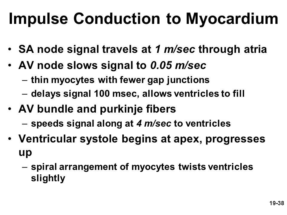 19-38 Impulse Conduction to Myocardium SA node signal travels at 1 m/sec through atria AV node slows signal to 0.05 m/sec –thin myocytes with fewer ga