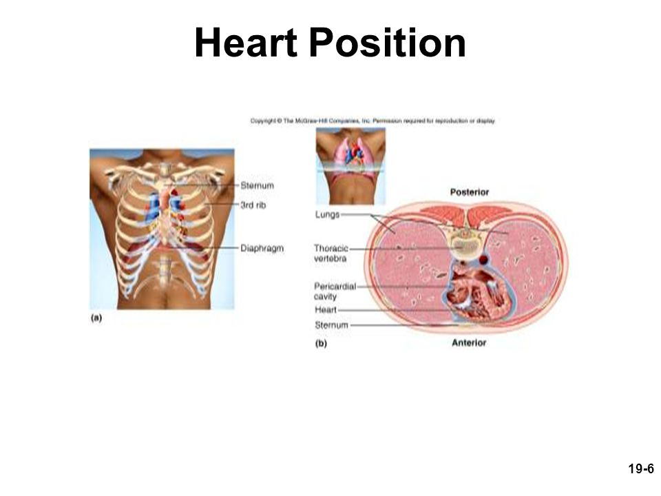 19-7 Pericardium Allows heart to beat without friction, room to expand and resists excessive expansion Parietal pericardium –outer, tough, fibrous layer of CT Pericardial cavity –filled with pericardial fluid Visceral pericardium (a.k.a.