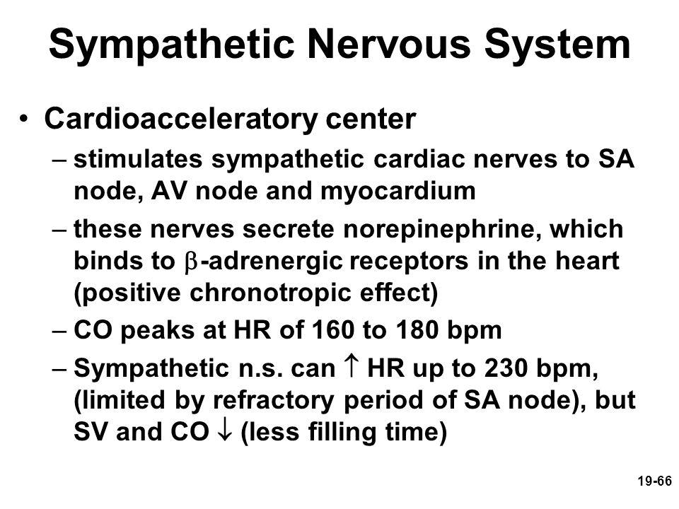 19-66 Sympathetic Nervous System Cardioacceleratory center –stimulates sympathetic cardiac nerves to SA node, AV node and myocardium –these nerves sec