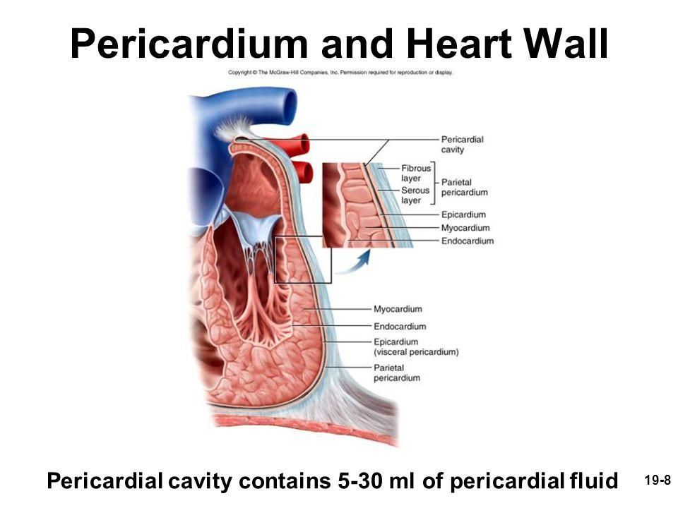 19-9 Heart Wall Epicardium (a.k.a.