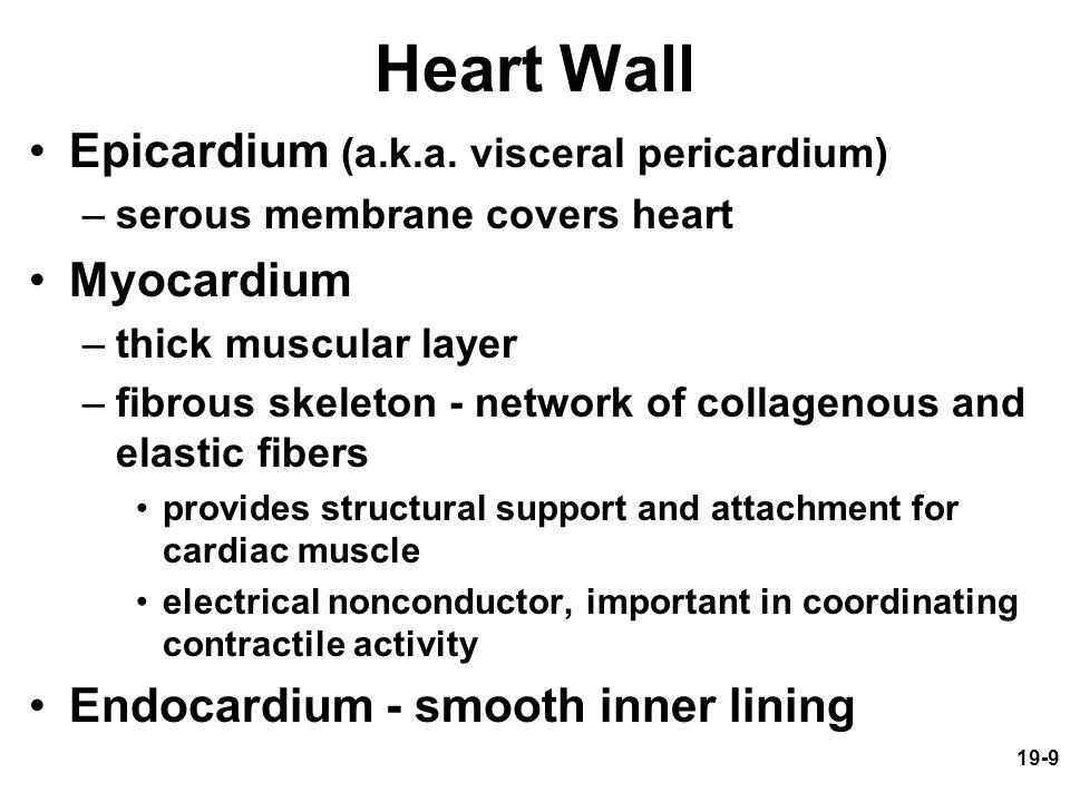19-9 Heart Wall Epicardium (a.k.a. visceral pericardium) –serous membrane covers heart Myocardium –thick muscular layer –fibrous skeleton - network of