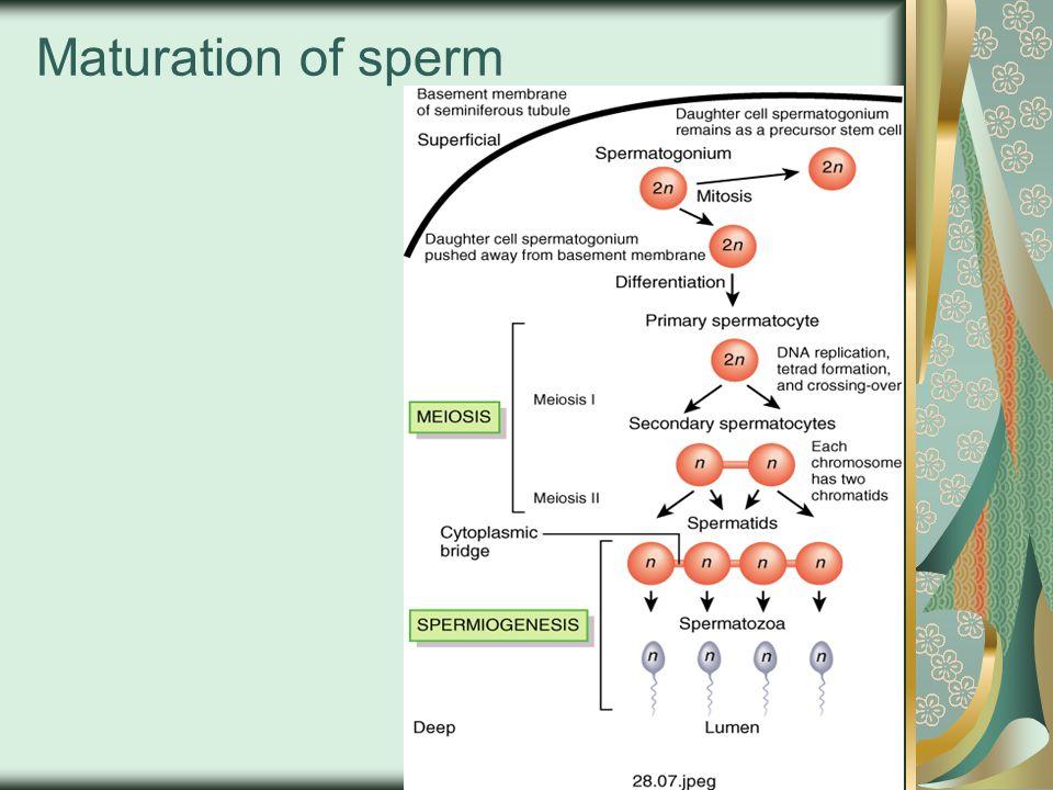 Maturation of sperm