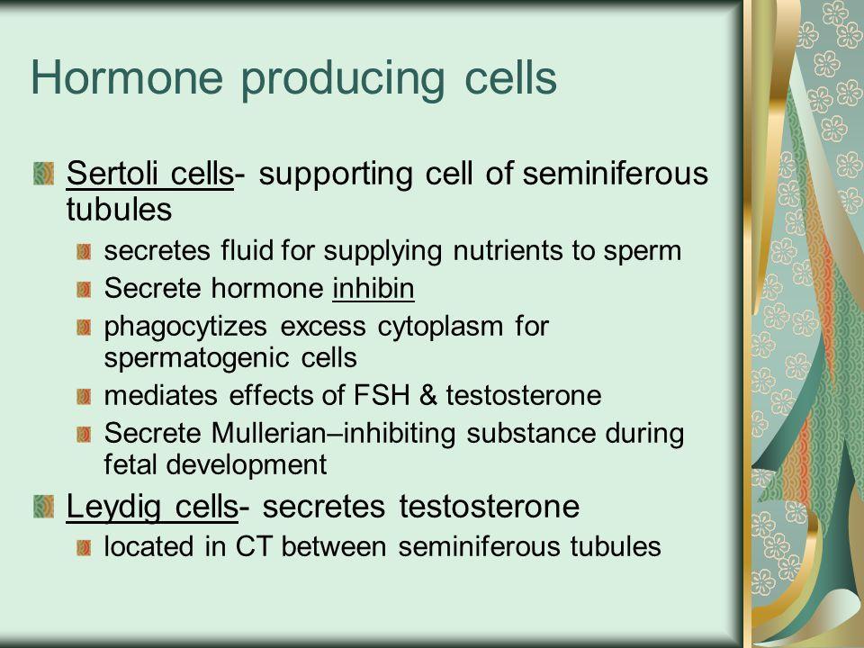 Hormone producing cells Sertoli cells- supporting cell of seminiferous tubules secretes fluid for supplying nutrients to sperm Secrete hormone inhibin