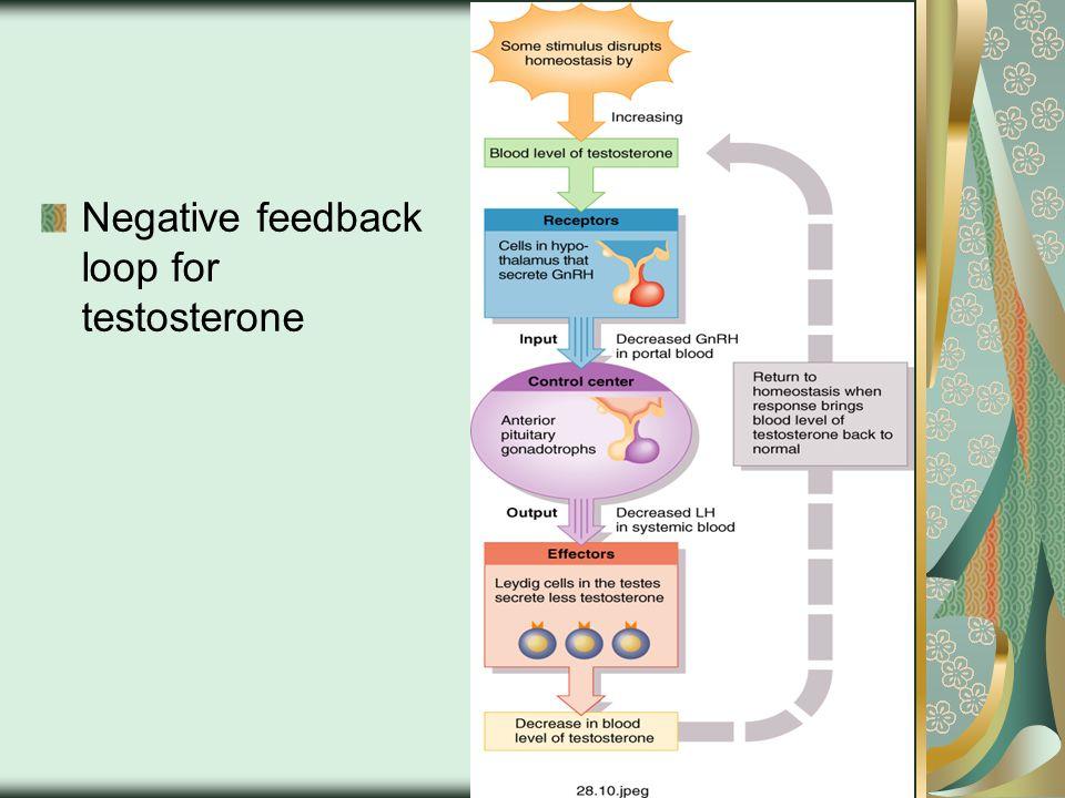 Negative feedback loop for testosterone