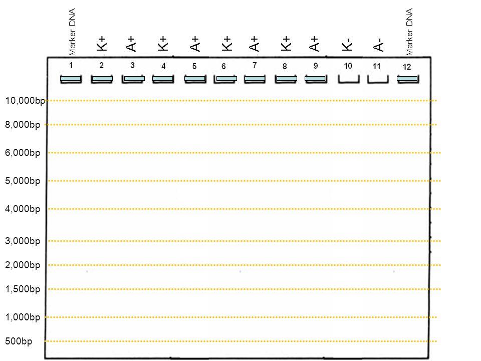 10,000bp 8,000bp 6,000bp 5,000bp 4,000bp 3,000bp 1,500bp 1,000bp Marker DNA K+ K-A+A- 2,000bp 500bp Marker DNA K+ A+