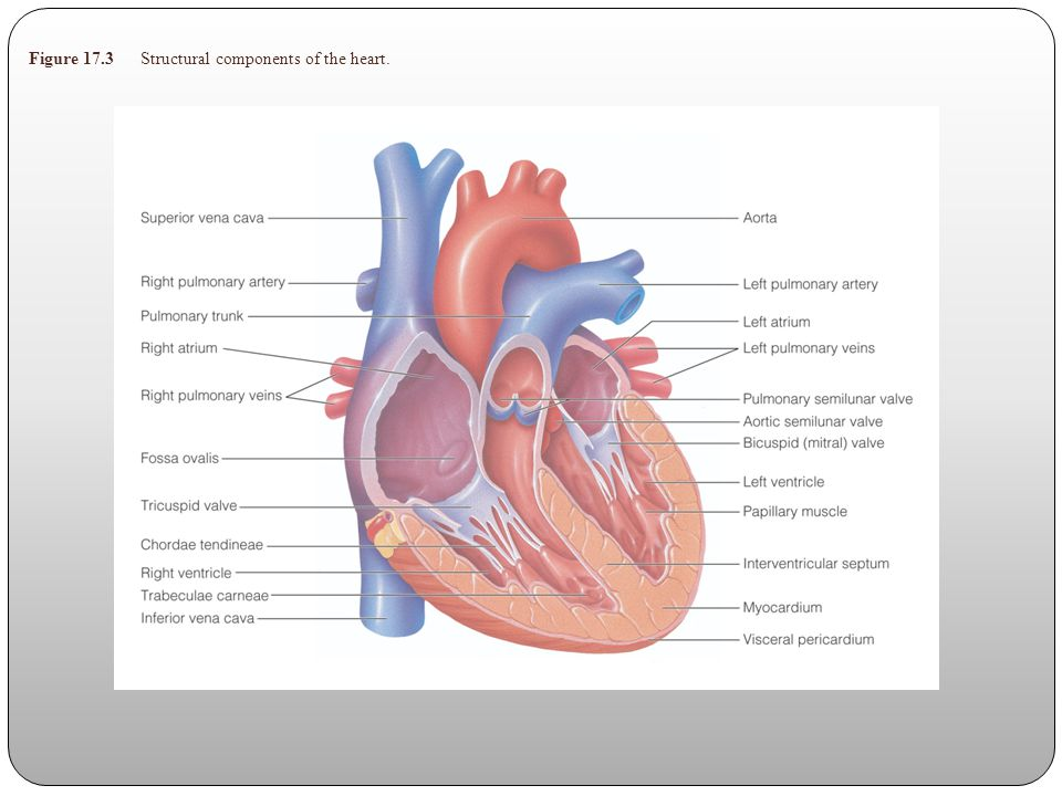 Heart Heart – pump composed of synchronized structures Cardiac Vessels Coronary Arteries – extensive network of arteries supplying the heart Coronary Veins – network for venous blood drainage Conduction system – heart has it own conduction system which can initiate and transmit an electrical impulse via cardiac muscle fibers This electrical charge stimulates muscular contraction of the heart SA node, AV node, Bundle of His, Right and Left Bundle Branch Block, and Purkinje fibers Nerves Sympathetic – stimulate the heart, increases heart rate, force of contraction, and dilation of coronary arteries.