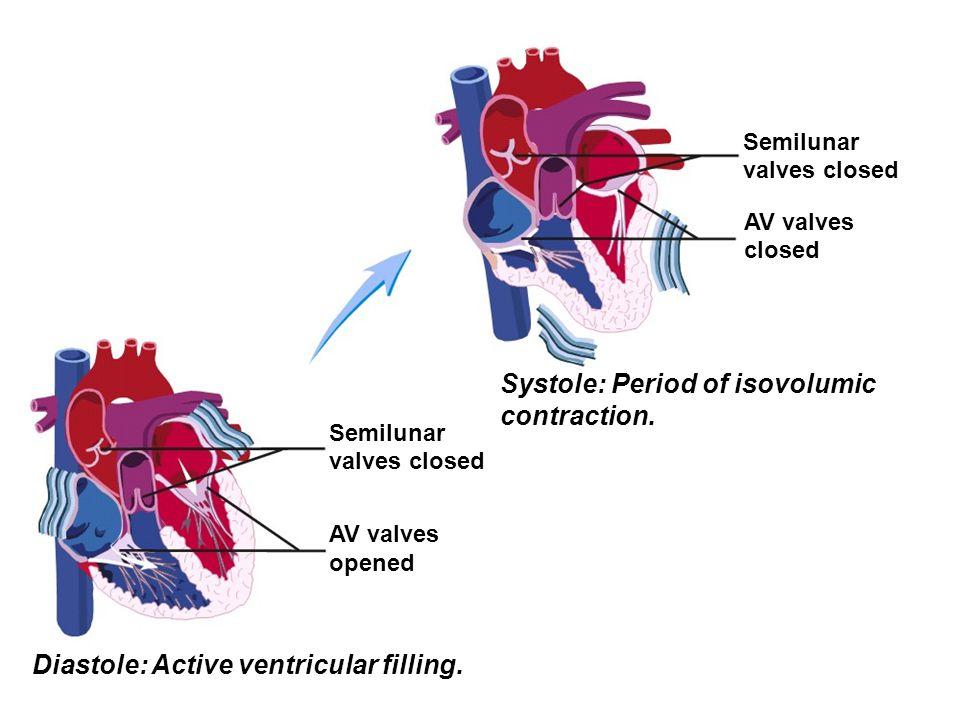 Semilunar valves closed AV valves closed Systole: Period of isovolumic contraction. Semilunar valves closed AV valves opened Diastole: Active ventricu