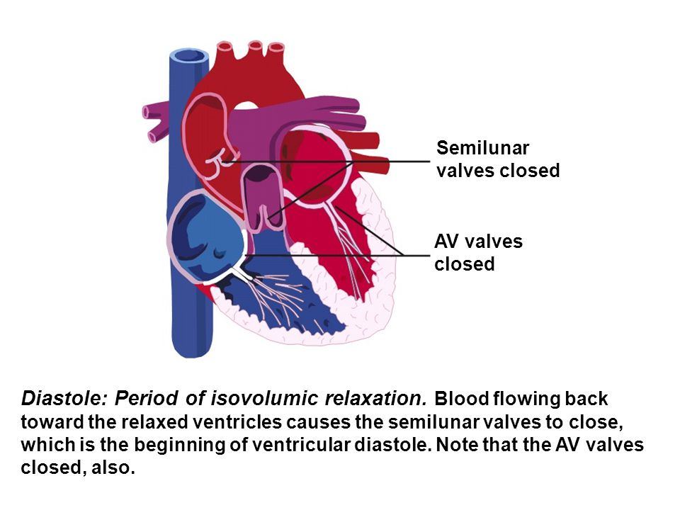 Semilunar valves closed AV valves closed Diastole: Period of isovolumic relaxation. Blood flowing back toward the relaxed ventricles causes the semilu