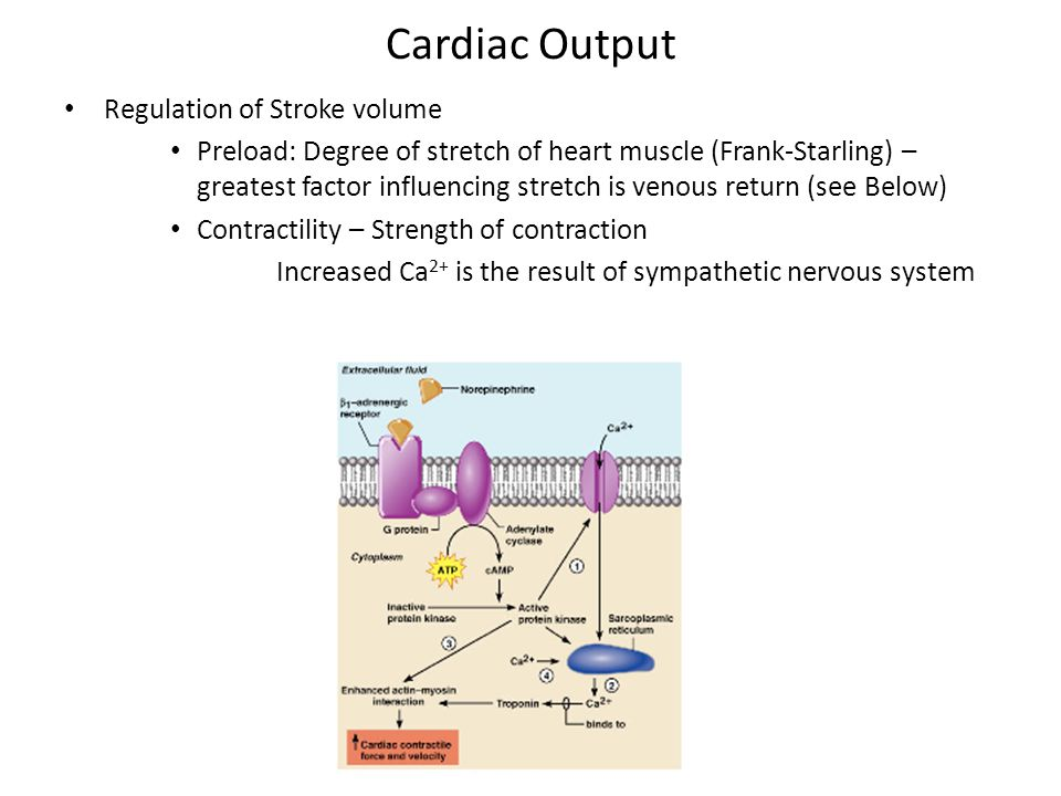 Cardiac Output Regulation of Stroke volume Preload: Degree of stretch of heart muscle (Frank-Starling) – greatest factor influencing stretch is venous