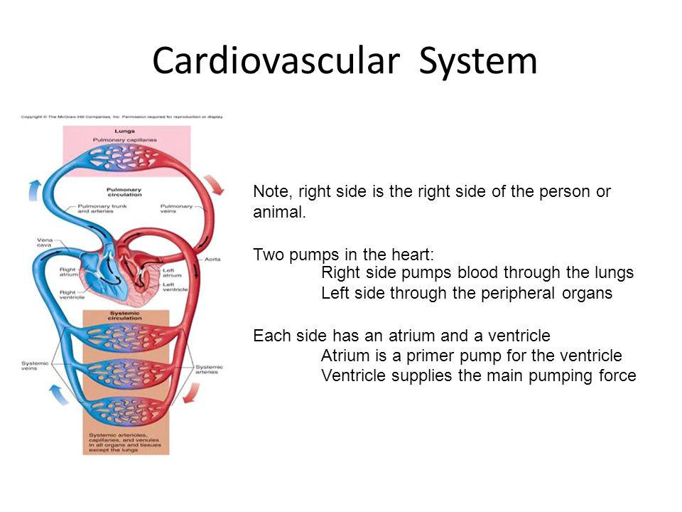Cardiovascular System Note, right side is the right side of the person or animal. Two pumps in the heart: Right side pumps blood through the lungs Lef