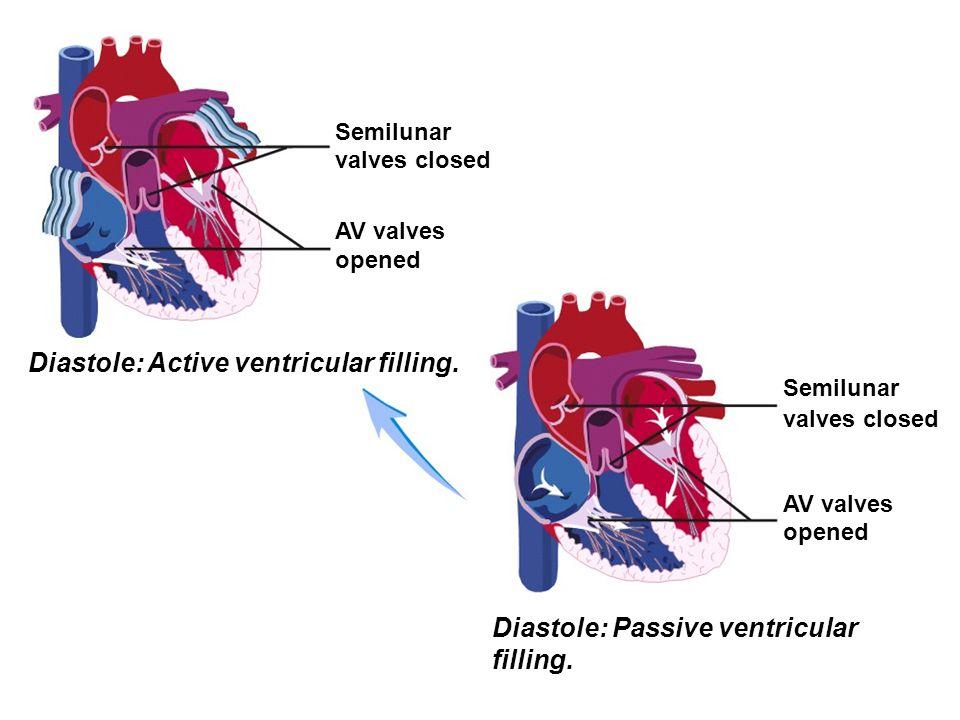 Semilunar valves closed AV valves opened Diastole: Active ventricular filling. Semilunar valves closed AV valves opened Diastole: Passive ventricular