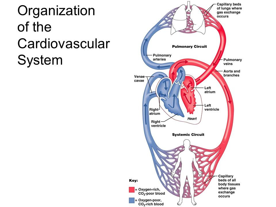 Figure 20–2c General Anatomy of the Heart Great veins and arteries at the base Pointed tip is apex Surrounded by pericardial sac