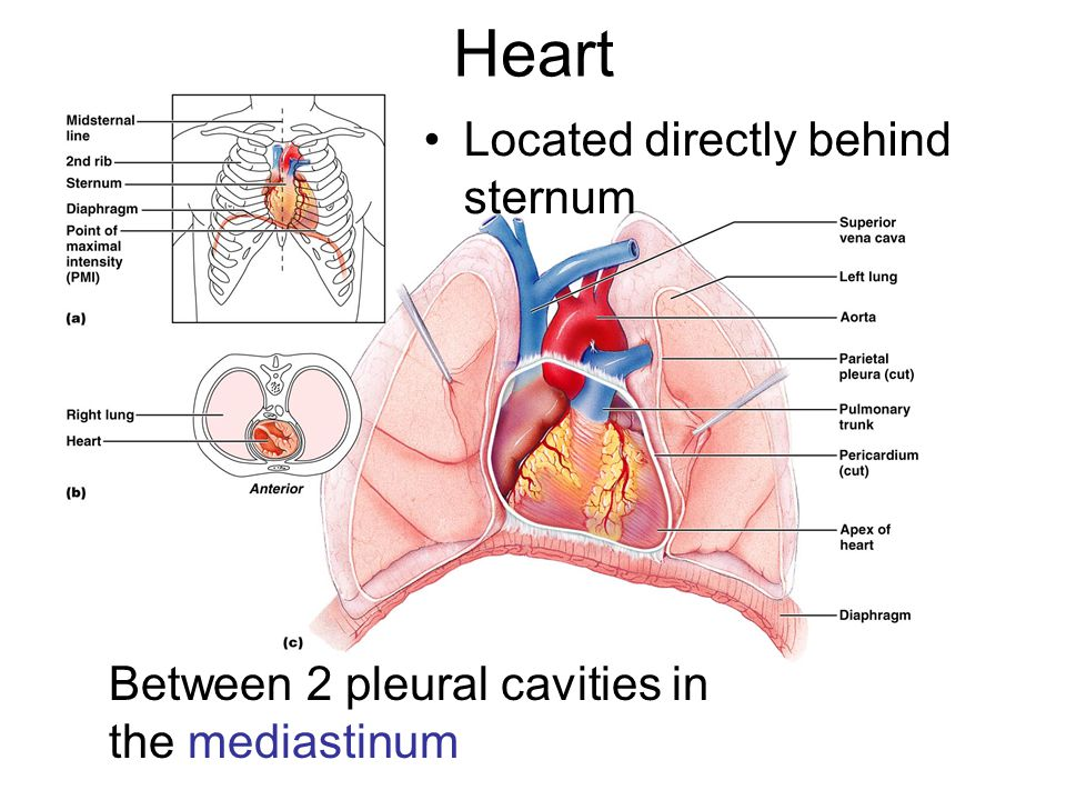 4 Chambers of the Heart Right atrium: –collects blood from systemic circuit Right ventricle: –pumps blood to pulmonary circuit Left atrium: –collects blood from pulmonary circuit Left ventricle: –pumps blood to systemic circuit