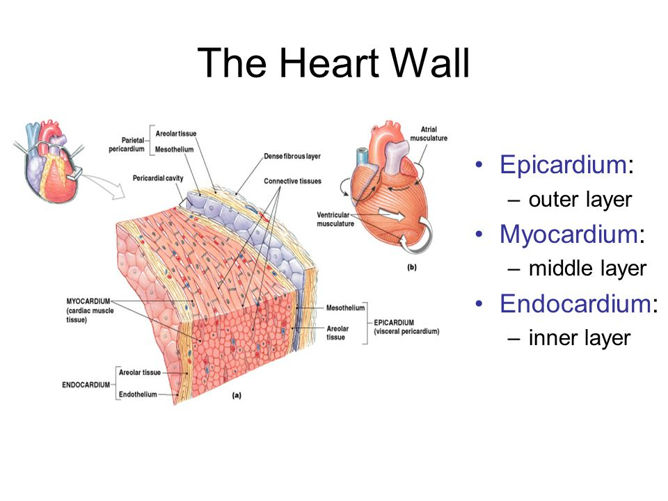 8 Steps in the Cardiac Cycle Begin: all relaxed, ventricles 70% filled 1.Atrial systole begins –atrial contraction begins –rising pressure forces open right and left AV valves –no venous flow into atria but little backflow either 2.Atria eject blood into ventricles: –filling ventricles (topping them off) 3.Atrial systole ends (100msec): –ventricles contain maximum volume = end-diastolic volume (EDV) which is normally about 130ml
