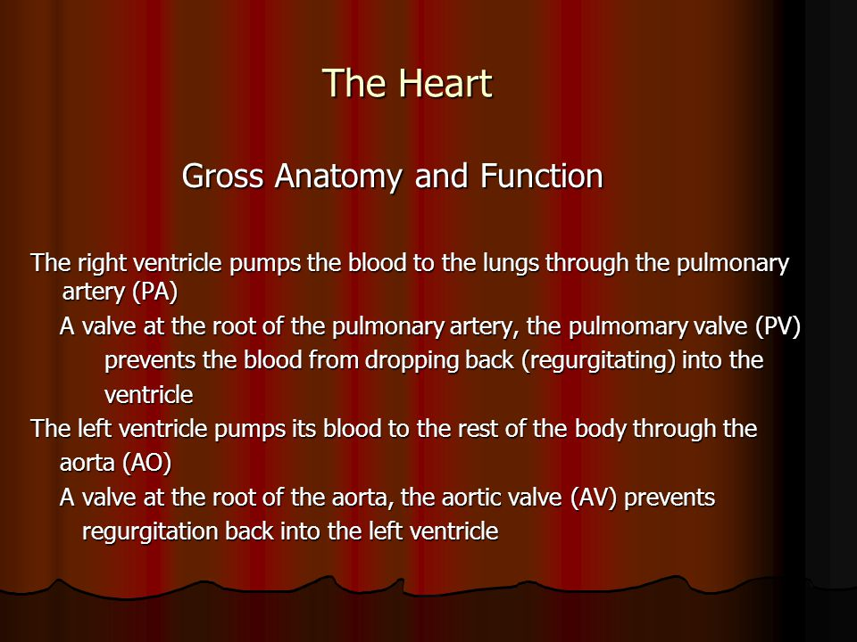 The Heart Gross Anatomy and Function Gross Anatomy and Function The right ventricle pumps the blood to the lungs through the pulmonary artery (PA) A v