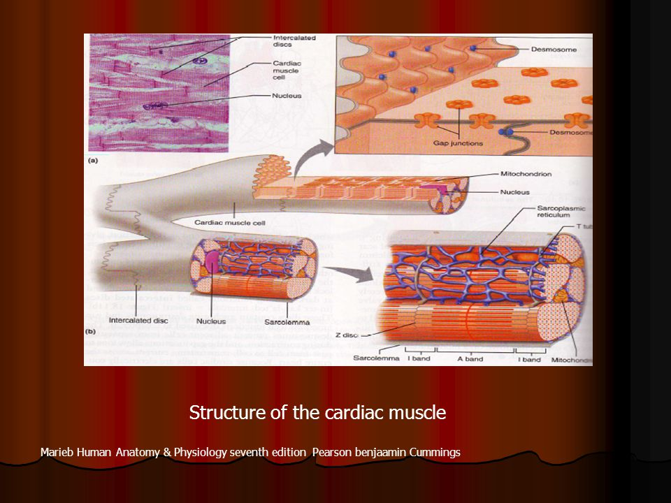 Structure of the cardiac muscle Marieb Human Anatomy & Physiology seventh edition Pearson benjaamin Cummings