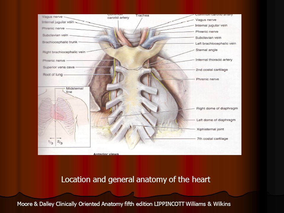 The Heart The heart is made of three layers Pericrdium Pericrdium Fibrous outermost Fibrous outermost Parietal, adherent to the fibrous layer Parietal, adherent to the fibrous layer Epicardium (visceral), envelops the muscle layer and adherent to it Epicardium (visceral), envelops the muscle layer and adherent to it Accumulation of blood or fluid in the pericardial sac can restrict Accumulation of blood or fluid in the pericardial sac can restrict cardiac filling and subsequently cardiac output (cardiac tamponade) cardiac filling and subsequently cardiac output (cardiac tamponade) Myocardium Myocardium The contractile layer responsible for the pumping action The contractile layer responsible for the pumping action Endocardium Endocardium The inner lining of the cavities, extends to form the valves The inner lining of the cavities, extends to form the valves A fibrous skeleton separates the atria from the ventricles and provides A fibrous skeleton separates the atria from the ventricles and provides attachment to the cardiac muscle attachment to the cardiac muscle