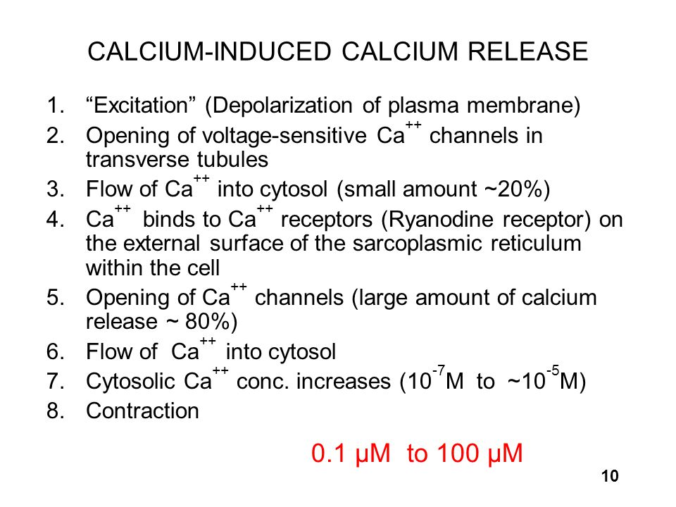 "10 CALCIUM-INDUCED CALCIUM RELEASE 1. ""Excitation"" (Depolarization of plasma membrane) 2. Opening of voltage-sensitive Ca ++ channels in transverse tu"